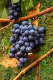 Ny sommardruva på grön träbakgrund Lodlinjen avbildar content fruktpomegranatered kärnar ur sommar Den mogna svarta druvan för hä Royaltyfria Foton