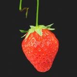 ny stemmed jordgubbe Royaltyfri Bild
