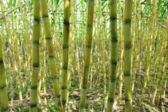 Ny sugarcaneväxt royaltyfri bild