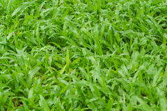 Ny textur och bakgrund för grönt gräs Arkivbilder