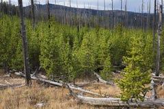 Ny tillväxt av pinjeskogen efter brandskada royaltyfri bild