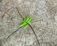 Ny tillväxt för grönt gräs över på sprickaträbaksida Royaltyfria Bilder