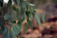 Ny tillväxt på eucalypten, Wilpena pund, SA, Australien royaltyfri foto