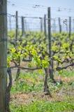 Ny tillväxt på vinrankor i Tuscany Royaltyfri Bild
