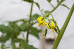 Ny tomatväxt Naturlig tomatwhit lämnar, blommor och stammen Arkivfoto