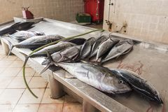 Ny tonfiskFishmarket Sal Rei Cape Verde arkivbilder