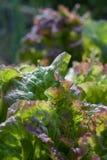 ny trädgårds- grönsallat Royaltyfri Fotografi