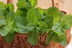 ny trädgårds- organisk pepparmint Arkivbilder