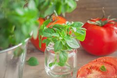 Ny ung basilika från trädgården som garnerar tomaterna Arkivfoton