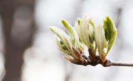 Ny ung grönska lämnar trädfilialen Vårtid och nytt livbegrepp Mjuk fokus, fält för grunt djup för makrosikt royaltyfria bilder