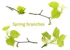 Ny uppsättning av foto för filialer för vårlindträd som isoleras på vit Vårpåskris Royaltyfri Fotografi
