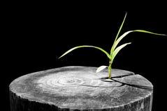 Ny utveckling och förnyande som en affärsidé av att dyka upp ledarskapframgång som ett gammalt träd för snitt ner och en stark pl Arkivbilder