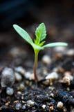 ny växt Fotografering för Bildbyråer