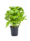 ny växt för basilika arkivbild