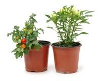 Ny växt för körsbärsröd tomat och ny paprika i en krus royaltyfri foto