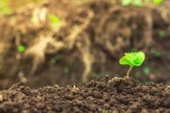 Ny växtknopp på jord i morgonljus Arkivbilder