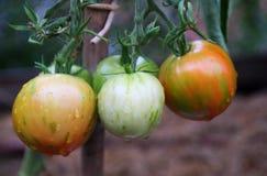 Ny variation av tomaten Arkivfoto