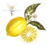 Ny vattenfärgcitron med blommor Hand dragen botanisk illustration vektor illustrationer