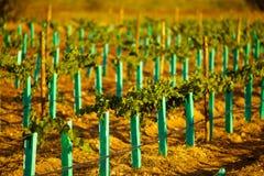 Ny vingård Arkivbild