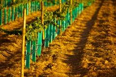 Ny vingård Royaltyfria Foton