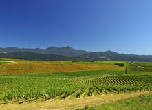 ny vingård zealand Arkivfoto