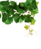 ny vinranka för filial royaltyfria bilder