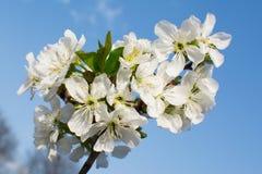 Ny vit blomma Arkivbild