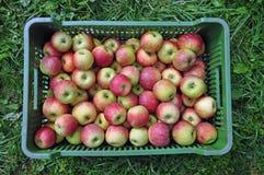 Nya äpplen i en sändningsspjällåda Arkivbild