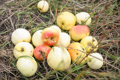 Nya äpplen i ett gräs Arkivfoto