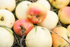 Nya äpplen i ett gräs Royaltyfri Fotografi