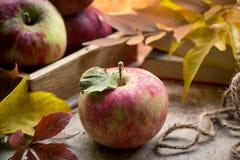 Nya äpplen i höst Äpplen med pollen på huden Arkivfoto