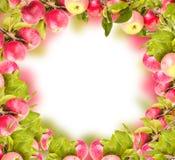 Nya äpplen på filialer Arkivbilder