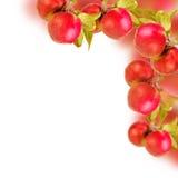 Nya äpplen på filialer Royaltyfri Bild
