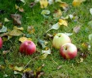 Nya äpplen på gräs fotografering för bildbyråer