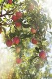 Nya äpplen som hänger på ett träd i en äpplefruktträdgård i Indiana Arkivbild