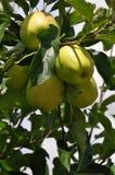 Nya äpplen som markeras av solen royaltyfria foton