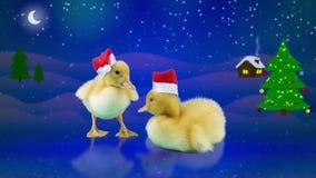 Nya år semestrar, gulliga roliga små ankungar i jultomtenhattar stock video