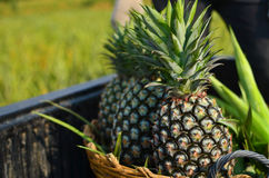 nya ananas för lantgård Royaltyfri Bild