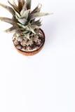Nya ananas och kokosnötter på vit bakgrund Royaltyfri Fotografi