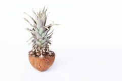 Nya ananas och kokosnötter på vit bakgrund Arkivbilder
