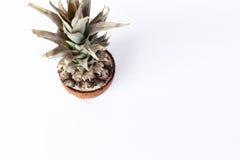 Nya ananas och kokosnötter på vit bakgrund Arkivfoto