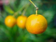 nya apelsiner Arkivfoton