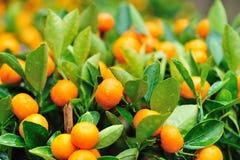 Nya apelsiner på tree Arkivbilder