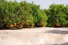 Nya apelsiner som hänger på orange träd Royaltyfri Bild