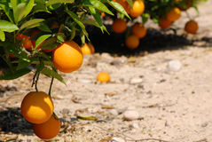 Nya apelsiner som hänger på orange träd Arkivfoto