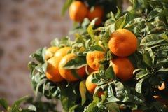 Nya apelsiner som växer på orange träd i Mallorca Arkivbild