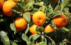 Nya apelsiner som växer på orange träd i Mallorca Royaltyfria Bilder