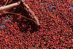 Nya Arabicakaffebär Organisk kaffelantgård royaltyfri foto