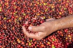 Nya Arabicakaffebär Organisk kaffelantgård arkivbild