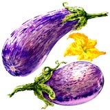 Nya auberginegrafitti, randig aubergine, två grönsaker med den isolerade blomman, vattenfärgillustration på vit stock illustrationer